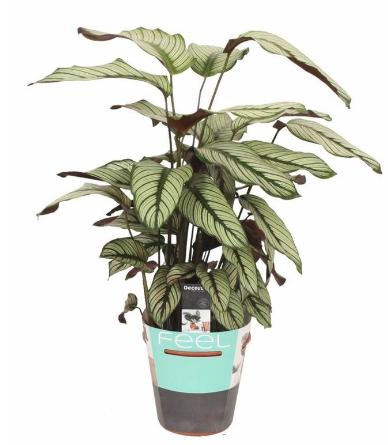 كالاتيا ويتيستار نباتات داخلية