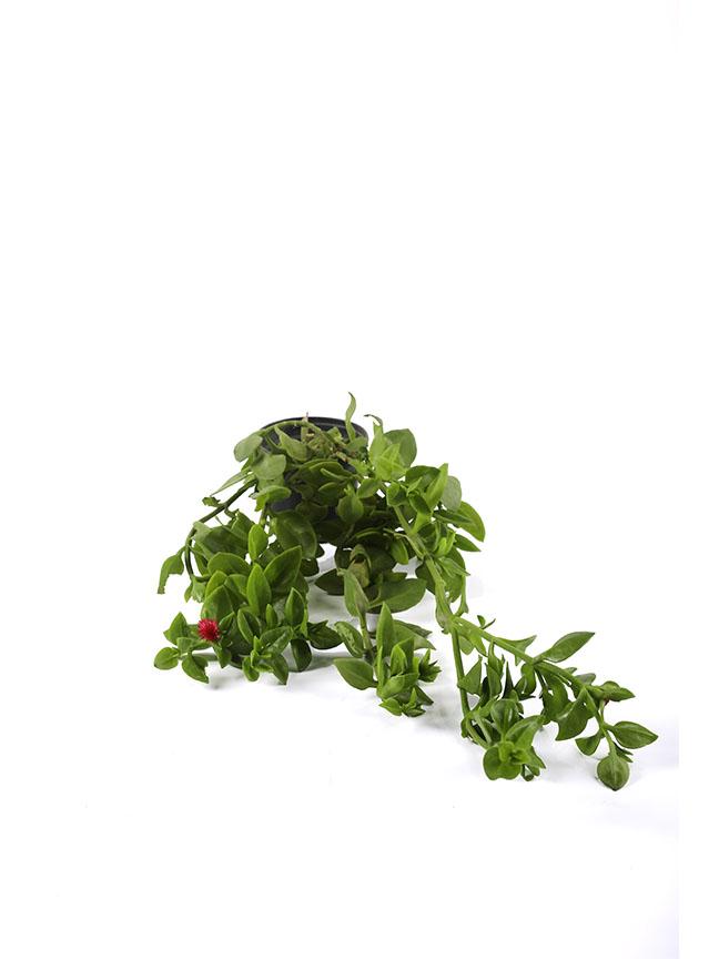 Aptenia Cordifolia (pack Of 50 Pieces) 'Indoor Plants'