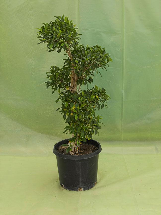 تين بنجامين 'نباتات خارجية'
