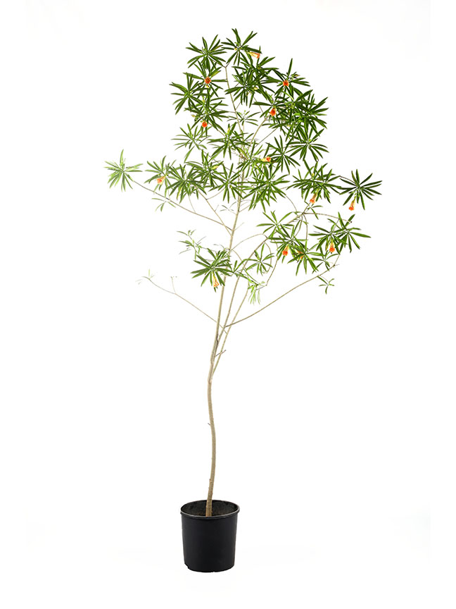 Thevetia Peruviana  'Outdoor Plants'