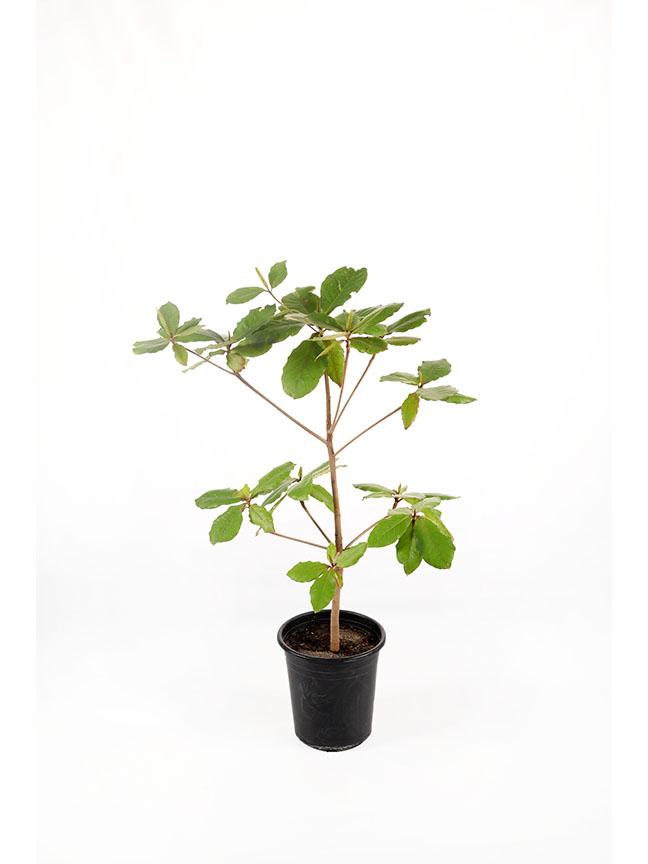 لوز بحريني نباتات خارجية