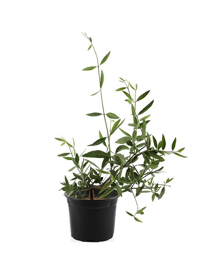 Salvadora Persica 1 'Outdoor Plants'