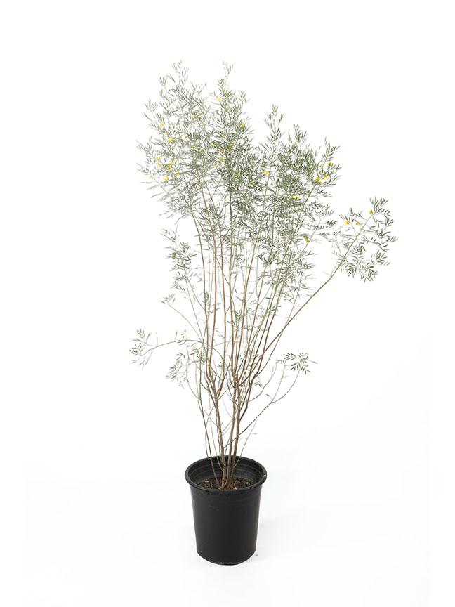 Senna Artemisiodes 'Outdoor Plants'