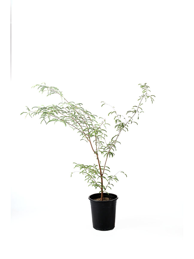 Tamarindus Indica Outdoor Plants