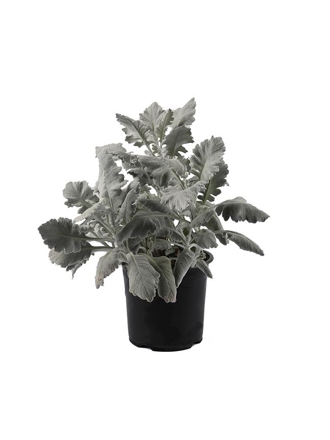 نجميات 'نباتات داخلية'