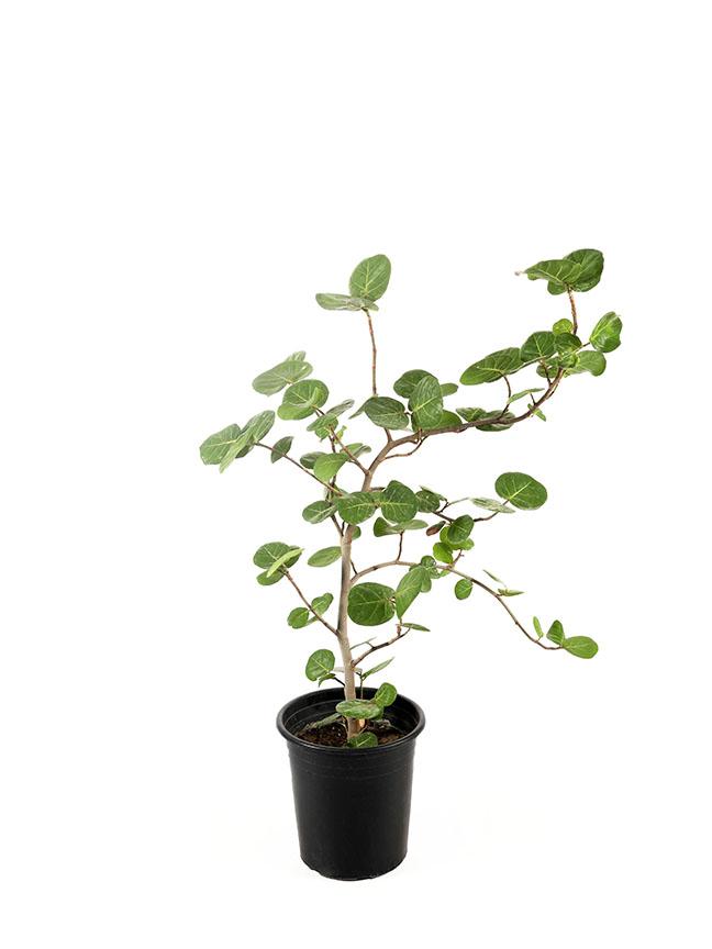 كوكولوبا 'نباتات خارجية'