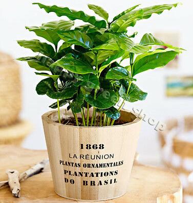 كوفي ارابيكا نباتات للمكاتب