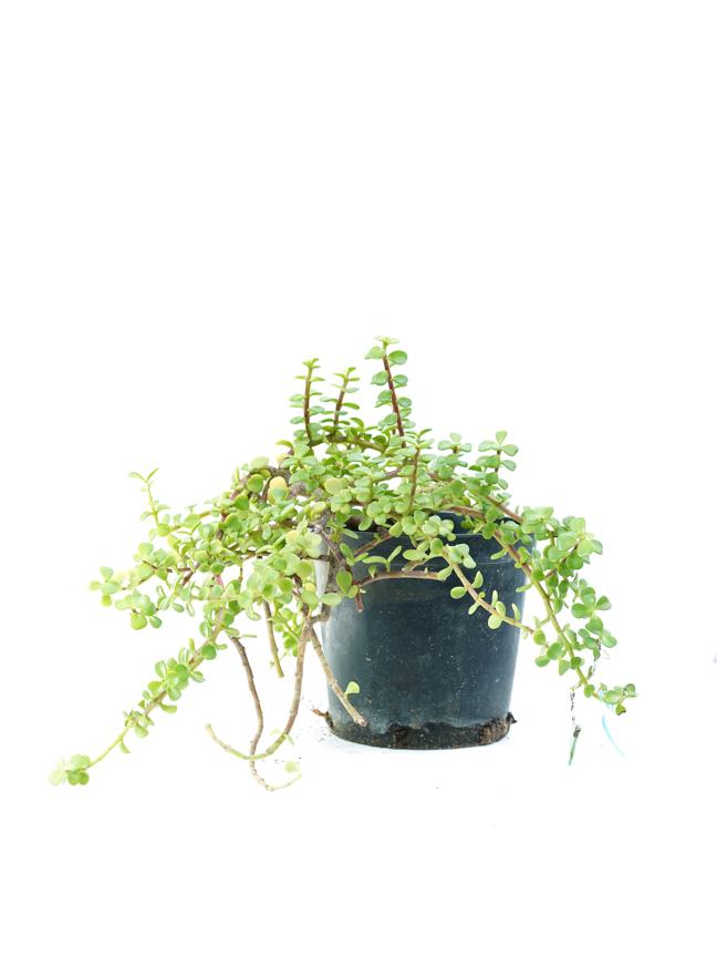 portulacaria afra succulent Outdoor Plants