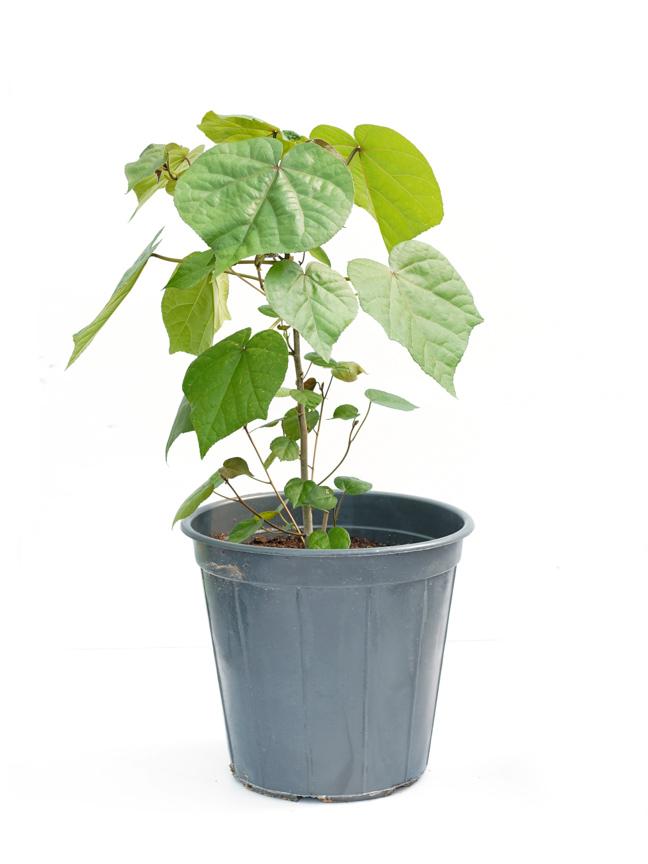 Hibiscus Rosa 'Outdoor Plants'