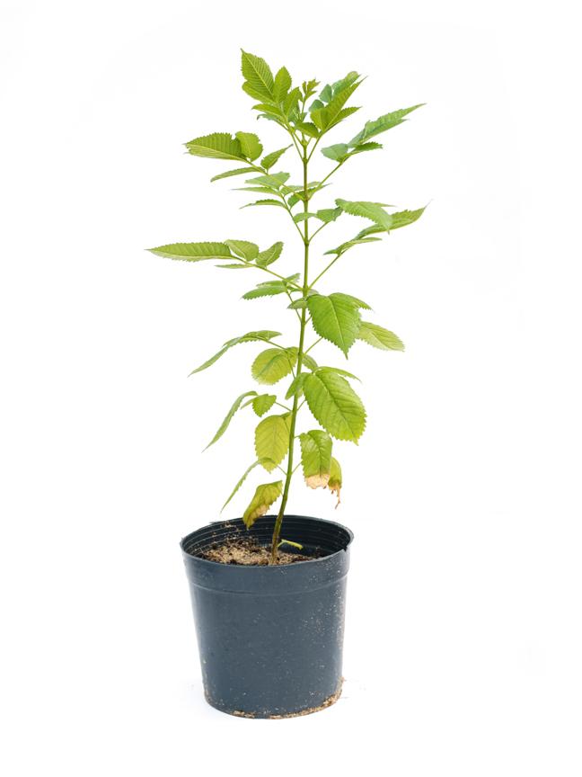تيكومة  'نباتات خارجية'