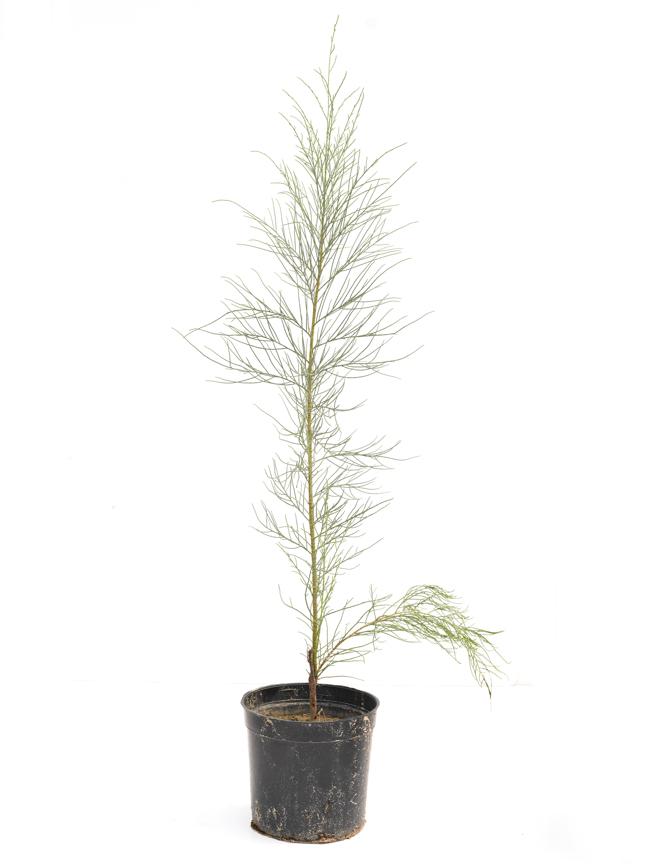 كازوارينا 'نباتات خارجية'