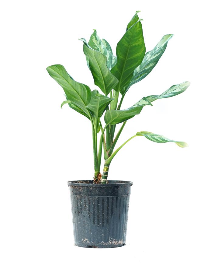 Aglaonema Maria ALJN Indoor Plants
