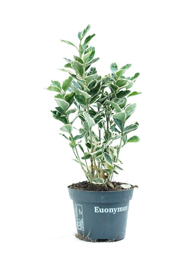Euonymus ALJN Indoor Plants