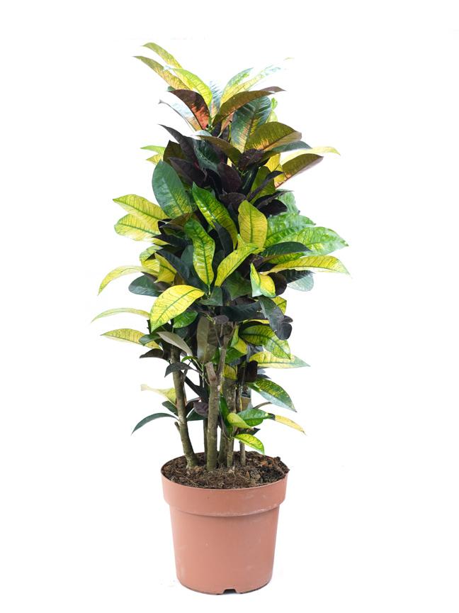 Codiaeum Iceton - Croton ALJN Indoor Plants