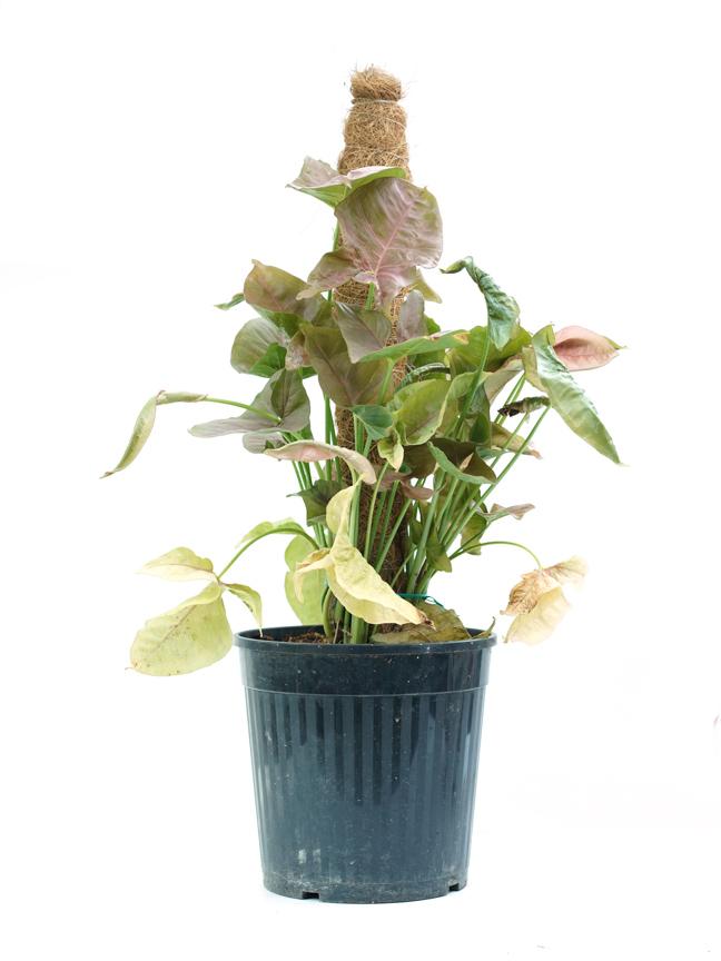 سينجونيوم اليبروح 'نباتات داخلية'