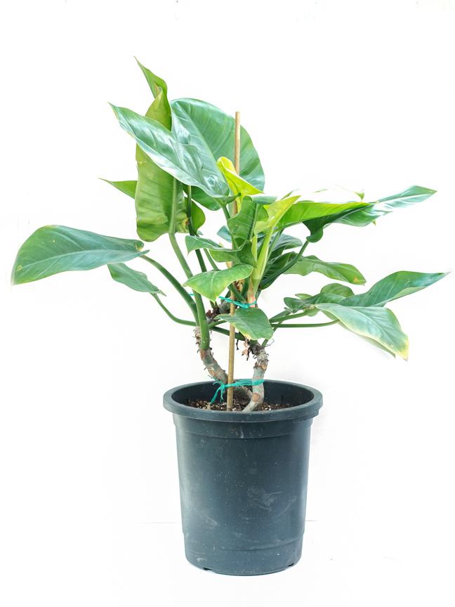 فيلوديندرون امبريال جرين 'نباتات داخلية'