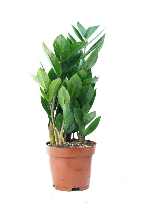zamioculcas zamiifolia Indoor Plants