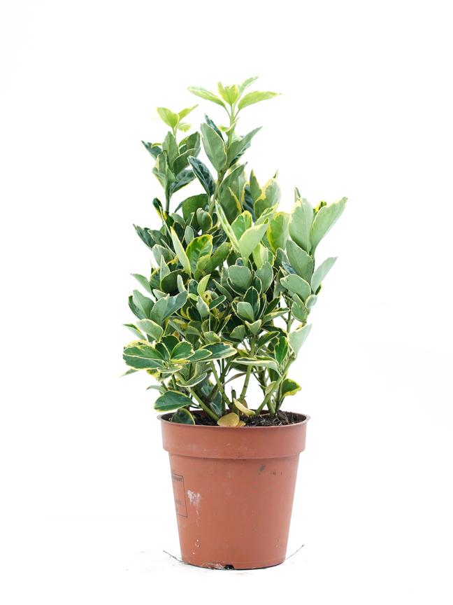 Euonymus Yellow Line 'Indoor Plants'