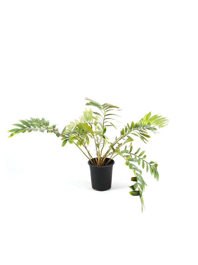 Zamia Furfuracea Outdoor Plants
