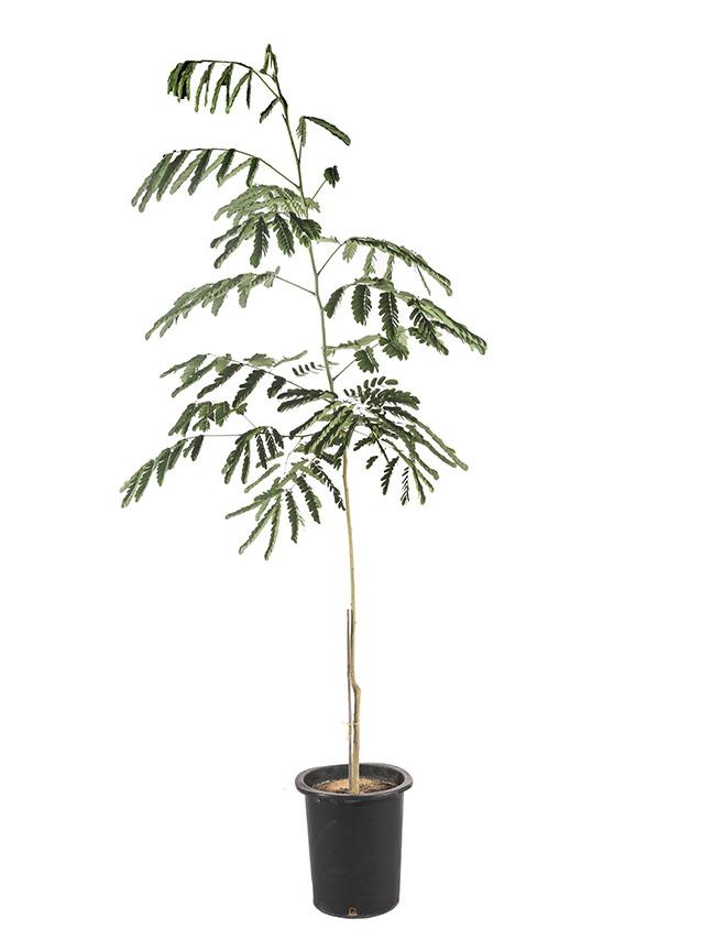 Albizia Lebbeck 'Outdoor Plants'