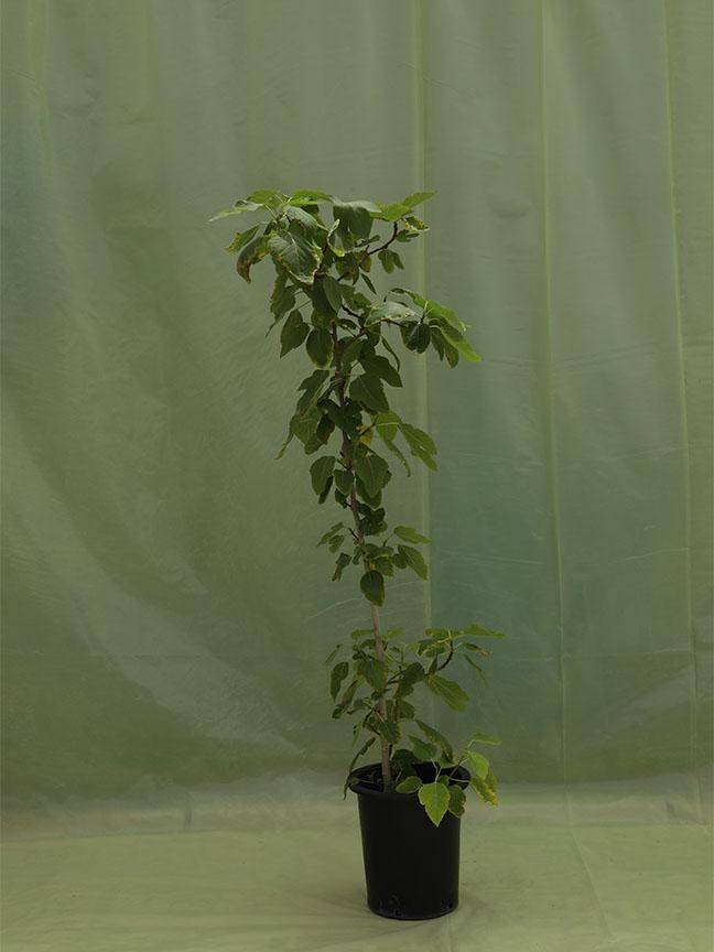 تين نباتات خارجية