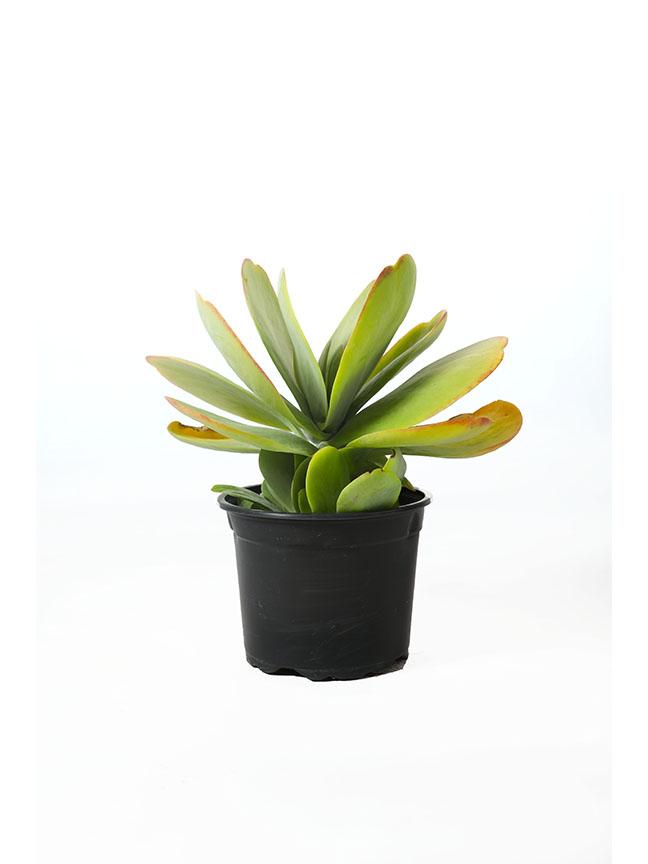 Kalanchoe The Thyrsiflora Indoor Plants