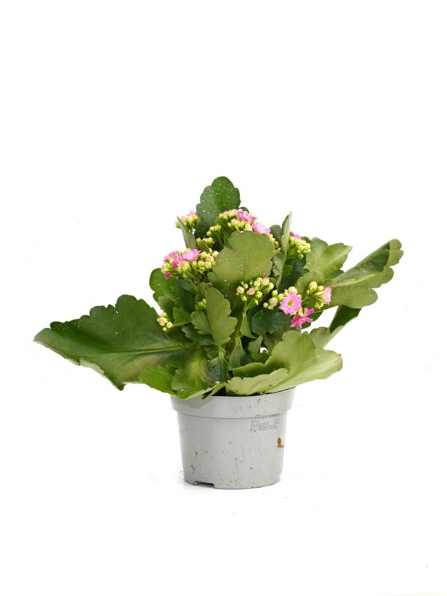 Kalanchoe Pink Indoor Plants