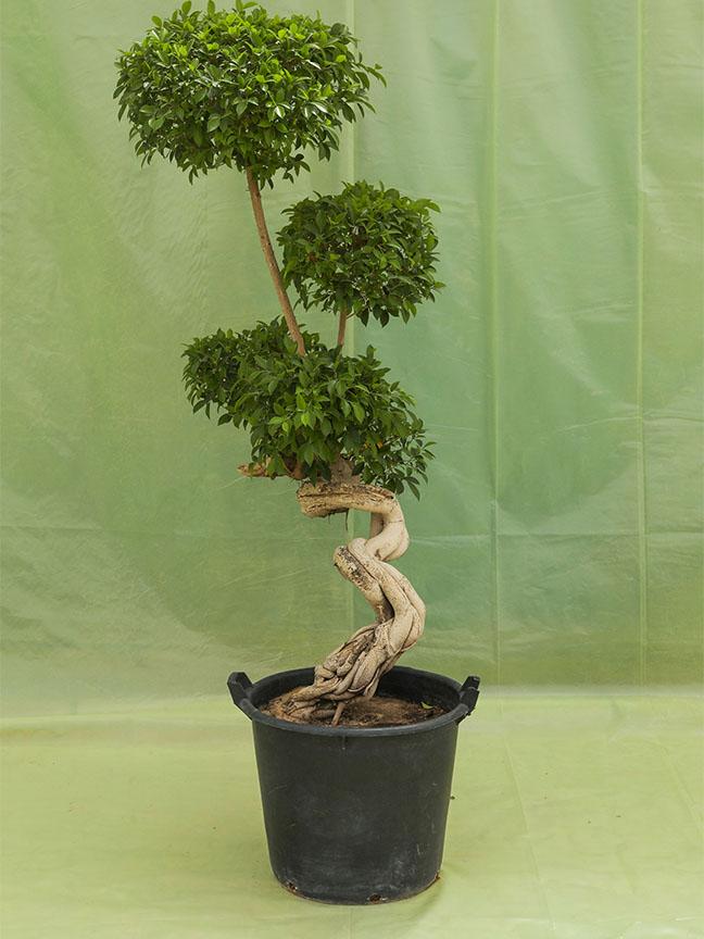 Ficus Microcarpa Tall Dragon Shape 'Outdoor Plants'