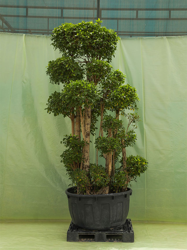 Ficus Microcarpa To Dye Roots Outdoor Plants