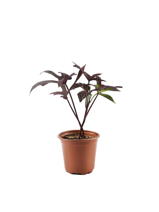 Ipomea Batata Red - Pack of 50 pieces Outdoor Plants