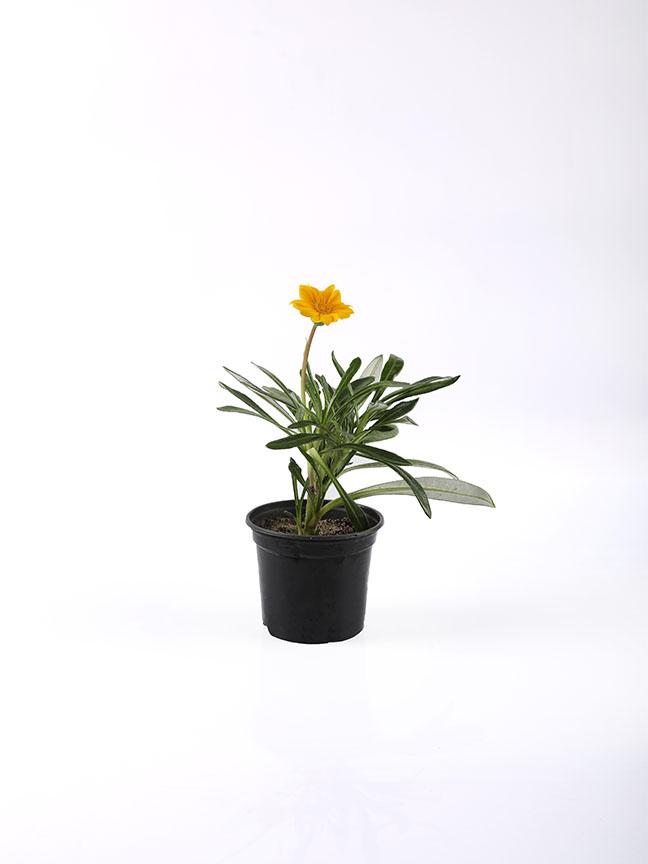 جازانيا ريجينز - حزمة من 50 قطعة نباتات خارجية