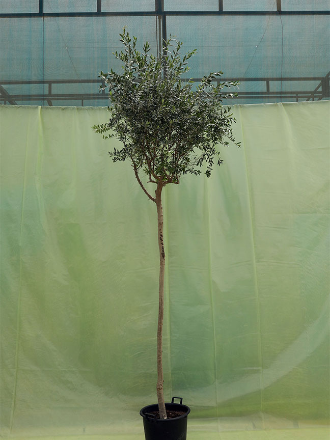 Olive Tree 60 Ltr(Higher Trunk) 'Outdoor Plants'