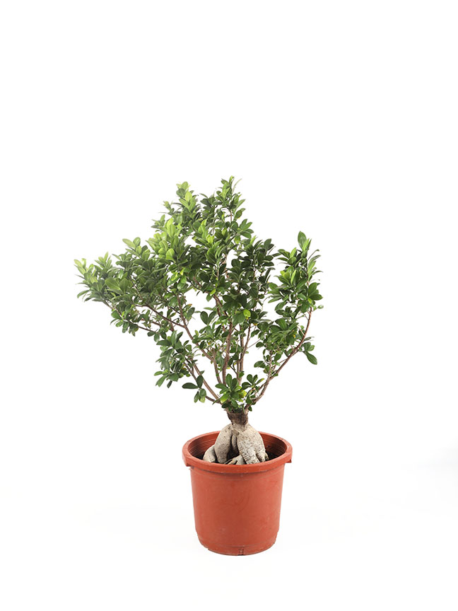 Ficus Microcarpa Bonsai Indoor Plants