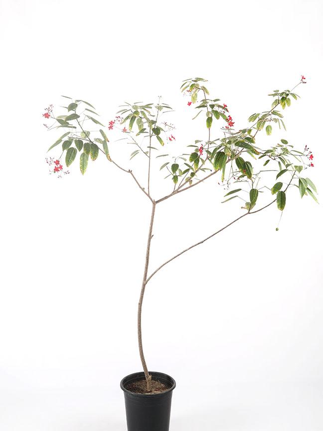 Jatropha Integerrima1 Outdoor Plants