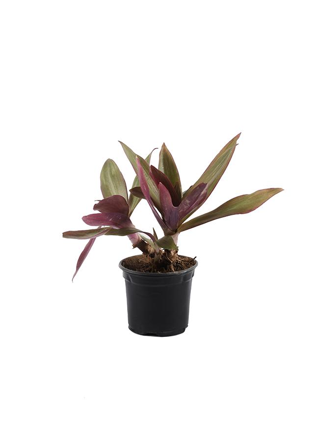 نبتة الوستارية - حزمة من 50 قطعة نباتات خارجية