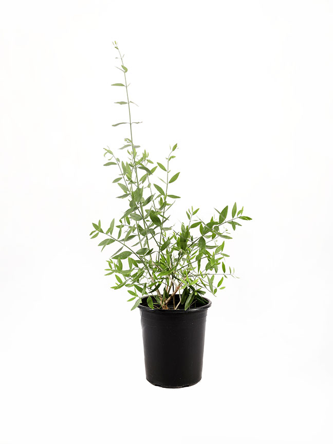 Salvadora Persica 2 Outdoor Plants