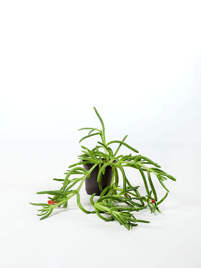 Lampranthus - pack of 50 pieces Indoor Plants