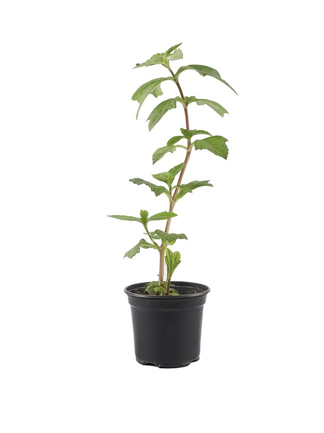 Wedelia (pack of 50 pieces) Outdoor Plants