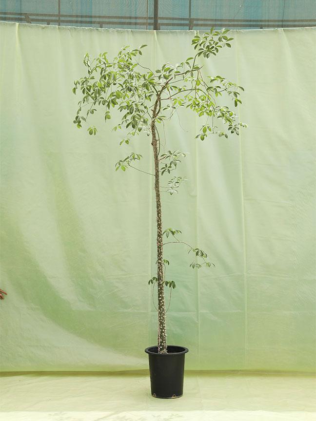 Bombax Ceiba 'Outdoor Plants'