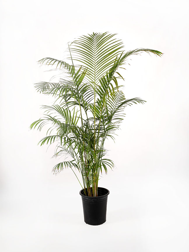 Dypsis Lutescens 'Outdoor Plants'
