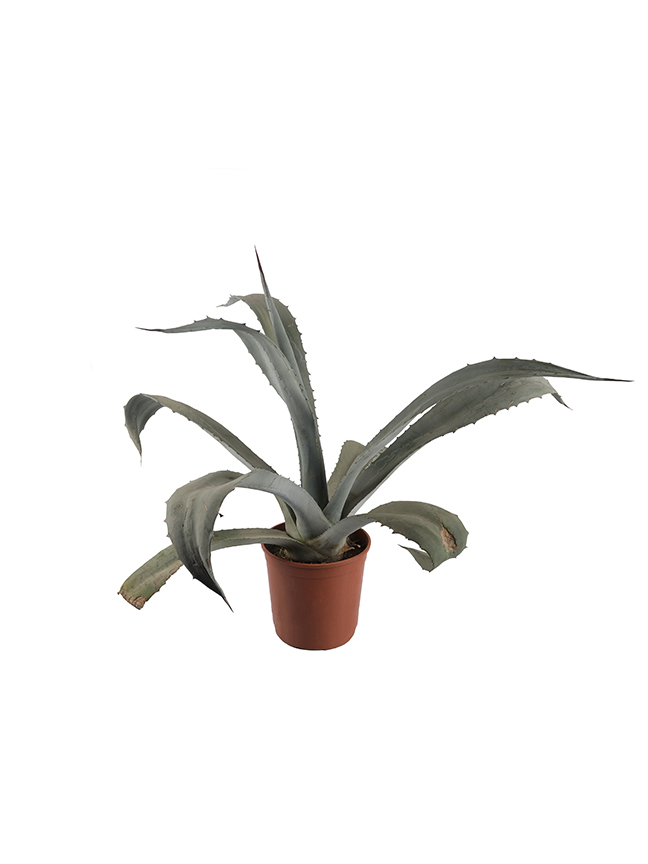 Agave Silver Leaf Outdoor Plants