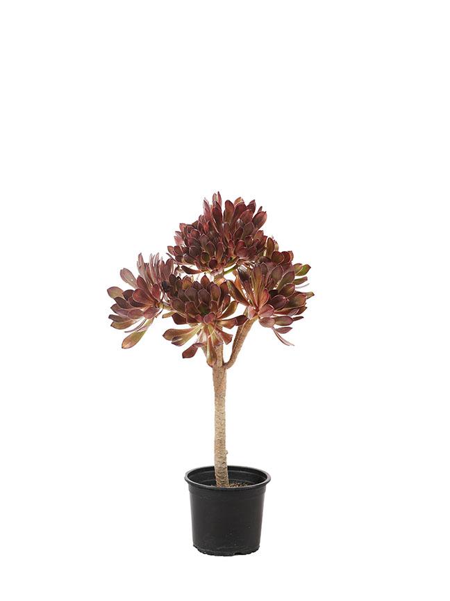 Aeonium Arboreum Outdoor Plants