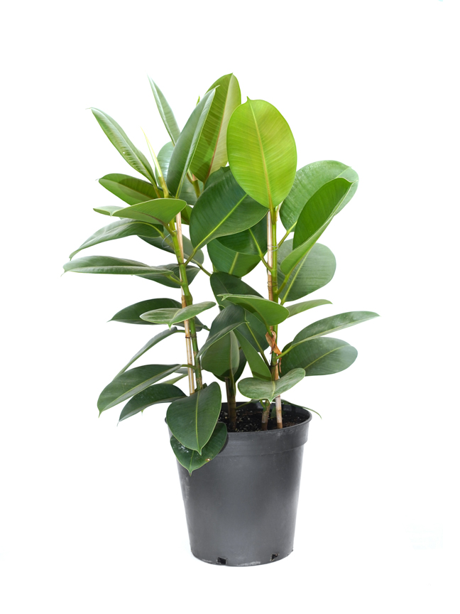 Ficus Robusta Indoor Plants
