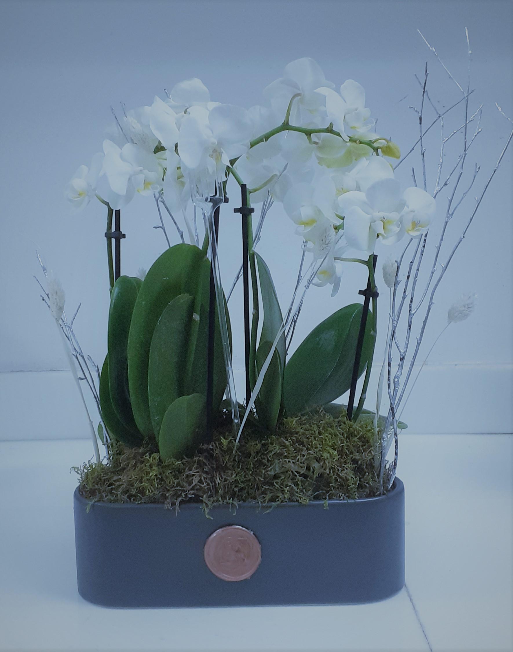 Mini Orchids Indoor Plants