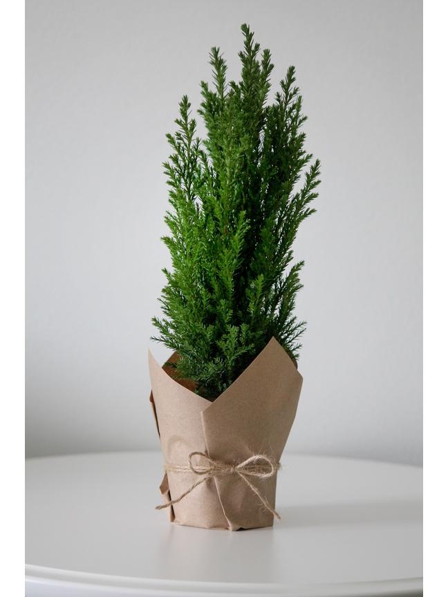 Cypresses  'Indoor Plants'
