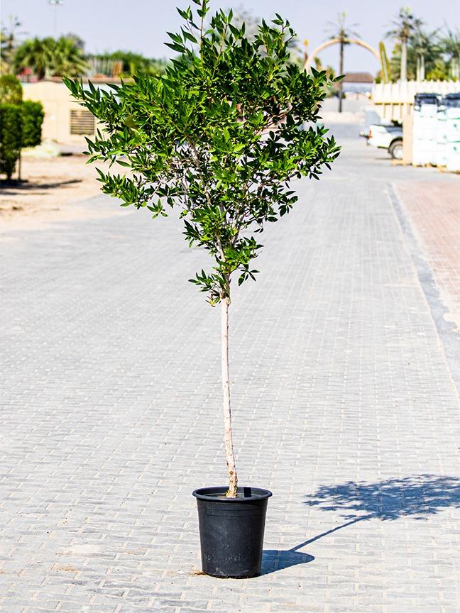 كونا كاربس - 2 نباتات خارجية