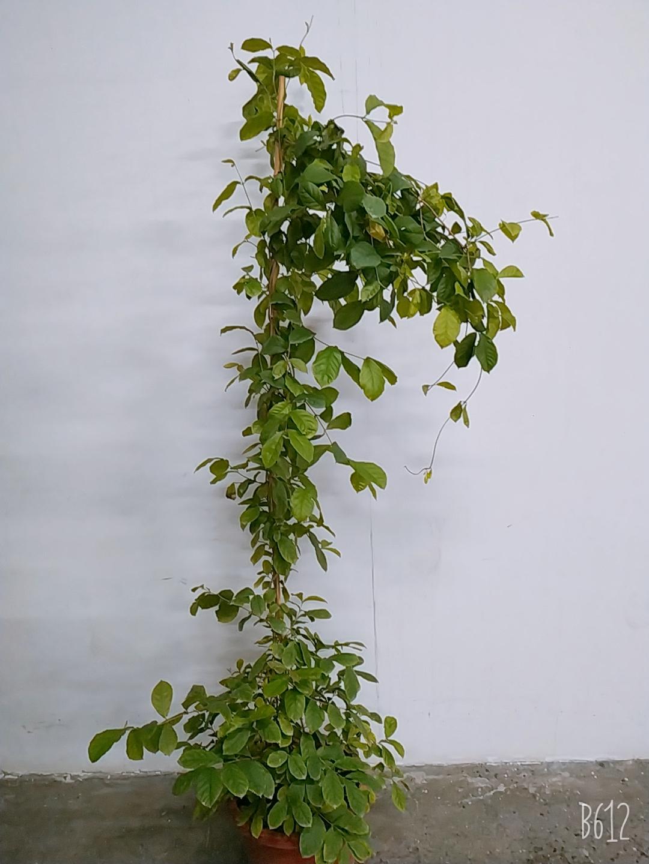 Rangoon Creeper-Jasmine Outdoor Plants