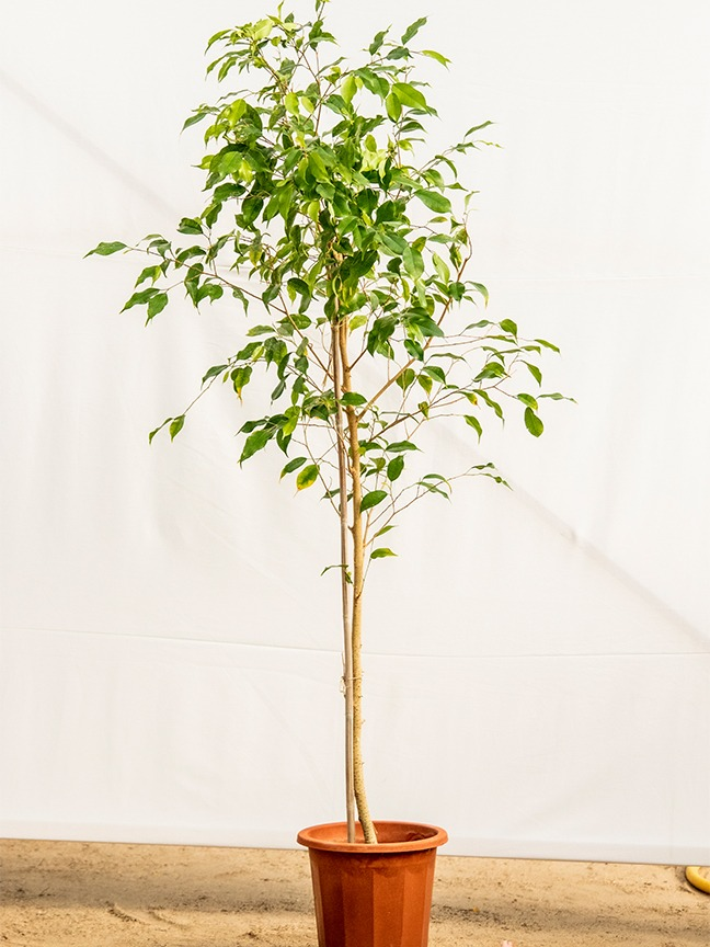 Ficus Outdoor Plants