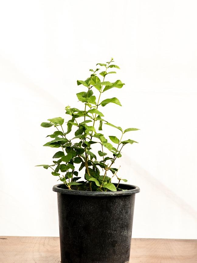 ياسمين - 1 نباتات خارجية