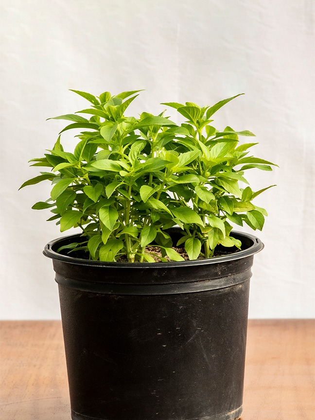ريحان نباتات خارجية
